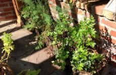 Potted Herbs Growing Outside