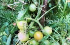 My Veggie Bucket Garden Coming Along Nicely!
