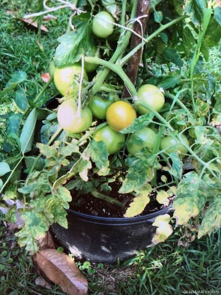 My Veggie Bucket Garden Coming Along Nicely!